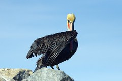 Brown Pelican (Pelecanus occidentalis) DDZ_5663 (NDomer73) Tags: bird december pelican best better brownpelican elkhornslough 2015 17december2015