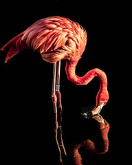 Flamingo Edit (Simon Maisie Photography) Tags: lightroom southglos pointswest southwest english england feathers contrast light pink colourful color colour edit flamingo bird edited nature nikon d7200 bold reflection reflect water mirrored simon clare digital slimbridge wwt photographs for sale wwwsimonmaisiephotographycoukprints