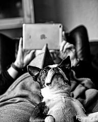 What's up (Silbersurfer) Tags: dog animal bostonterrier blackwhite dof bokeh indoor henry hund schwarzweiss hunde lightroom tiefenschrfe einfarbig silverefexpro2