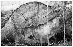 "La civilt uccide gli alberi col fiato... ;/)  15 TEE ""the Mussel"" (schyter) Tags: camera bw slr film 35mm silver lens monocromo aperture foto kodak bokeh tmax board fiume cell 15 11 bn homemade e soviet automatic di una campo epson cds 100 v600 135 jupiter mussel 1977 minimalismo kiev chemicals tee lightmeter bianco arsenal development nero bianconero analogica automat weighing adda turano 125 1125 lodi analogic bordo blackwithe pellicola allaperto lodigiano profondit adox adonal 4135  zavod 15 homemadescanned sn7705901 sn790843 90gost"