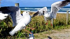 _DSC5507 (dawnbordin) Tags: sea hot bird beach birds head seagull gulls flock flight chips hungry lennox