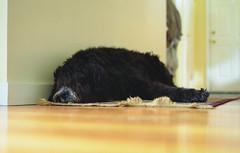 harumph (JoeBenjamin) Tags: bear sleeping dog black color 120 relax big mutt eyes 645 nap fuji floor sleep si relaxing fluffy hidden negative lazy bronica 400 huge pro rest napping medium format doggy resting 6x45 poofy c41 400h etrsi etr zenza