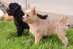 """Betty, trust me. Follow my lead, and I'll get us a treat."" (bankst) Tags: pets brown black dogs yorkiepoo"