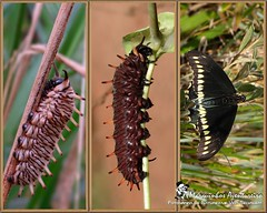 Metamorfose - Battus polydamas (Marquinhos Aventureiro) Tags: butterfly wildlife natureza caterpillar vida borboleta floresta lagarta metamorfose metamorphose selvagem battus polydamas marquinhosaventureiro