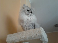 My persian cat in the scratching post (romeosilverpersian) Tags: cats pets animals longhair gatto persiancats scratchingpost catphotos catbreed chinchillacat gattipersiani gattopersiano
