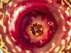 Huernia zebrina (Gabriel Paladino Photography) Tags: plantae magnoliophyta magnoliopsida gentianales apocynaceae asclepiadoideae ceropegieae stapeliinae huernia zebrina planta suculenta flor estrella flower bloom succulent fivelobed glossy baqibaqa africa gabrielpaladino