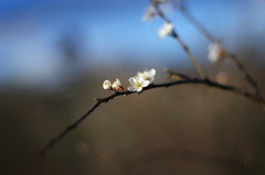 whitethorn (Stefano Rugolo) Tags: pentaxk5 flowers bokeh spring lazio italy countryside whitethorn smcpentaxm50mmf17 stefanorugolo