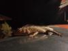 Jackie's Lizzie shot (Jackie & Dennis) Tags: india lizzie lizard wayanad rwh kalpetta bansura ramblersworldwideholidays kuttiyamvayall spicesplantationshillstations banasuraislandretreat