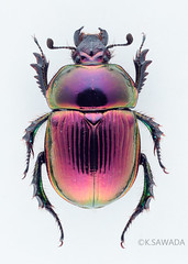 Phelotrupes(Chromogeotrupes) auratus auratus (Motschulsky,1857)12 (kenta_sawada6469) Tags: nature colors insect japanese metallic beetle insects beetles specimen jewel coleoptera dungbeetle scarabaeoidea