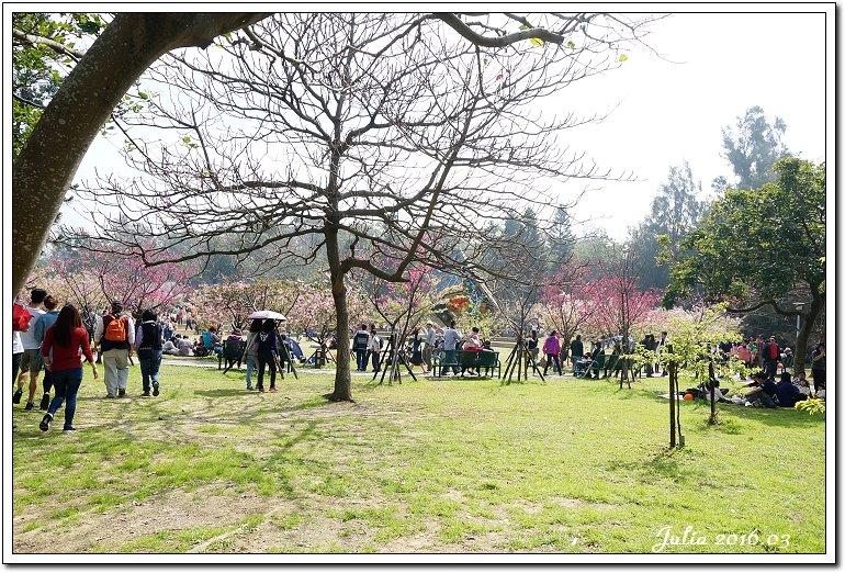 麗池公園河津櫻 (24)