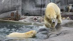 58/365 Polar bears