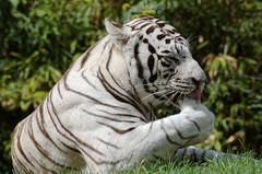 20151207 (d.sag) Tags: france zoo pentax tiger dxo animaux tigre whitetiger k5 sarthe paysdelaloire laflche tigreblanc