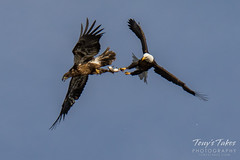 Bald Eagles battle for breakfast - Sequence - 38 of 42