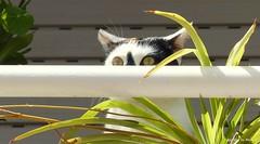 Paparazzi .. :)))  * Katzen * Cats *Gatos * Explored 20.03.2016 . P1280310-001 (Maya HK - On and Off) Tags: españa cats animals tiere spain gatos explore animales katzen spanien 2016 lorcamurcia 200316 panasoniclumixfz200 copyrightbymayawaltihk explored20032016
