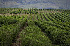 Verdant Farmland of The Galilee (Greatest Paka Photography) Tags: green field israel pattern galilee farmland crops verdant agriculture fertile