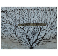 Mother Nature (michelle@c) Tags: texture wall network abstraction mur virginiacreeper vignevierge mutternatur ramification mèrenature michellecourteau