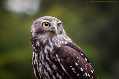 Barking Owl Portrait    #barkingowl #owl #portrait #birdphotography #birdsofprey #raptors #raymanningphotography (raymanningphotography) Tags: portrait owl raptors birdsofprey barkingowl birdphotography raymanningphotography