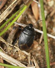 Forget-me-not Shieldbug - Sehirus luctuosus (Prank F) Tags: macro nature closeup bug insect wildlife sandy forgetmenot shieldbug thelodge rspb bedfordshireuk sehirusluctuosus