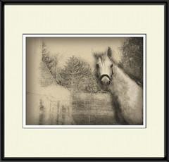 Waar blijft mijn appel? (gill4kleuren - 12 ml views) Tags: horse white me fun outside happy appel gill anisa paard pret arabier