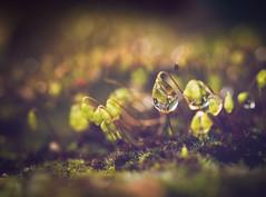 Into the woods (cristina.g216) Tags: musgo verde green moss woods drop bosque gota