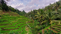 View On Top (Hafiz.Soyuz.Photography) Tags: trees bali green industry nature indonesia village paddy terrace farm unique hill layers local farmer organic agriculture income agro