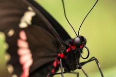 Portrait of a Parides Childrenae (Pakkanen 1974) Tags: female butterfly germany insect de deutschland insekt schleswigholstein schmetterling aumühle gartenderschmetterlinge friedrichsruh parideschildrenae greencelledcattleheart