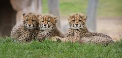 Three Little Cubs (Penny Hyde) Tags: cub bigcat cheetah safaripark babyanimal flickrbigcats