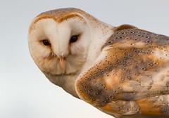 Barn Owl Looking at You (explored) (AngelCrutch) Tags: uk bird animal evening eyes looking yorkshire beak feathers owl barnowl westyorkshire pontefract birdofprey britishbird farmercopleys captivebird