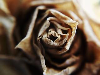 Goodbye Australian rose. 88/366