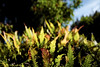 prickly rasp fern (nocklebeast) Tags: nrd santacruz ucsc ucsantacruz ucscarboretum pricklyraspfern dream dreamy oneiric ca usa fernl2000212 scphoto compellingframe