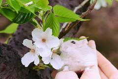 DSC_6689 () Tags: pet animal hamster