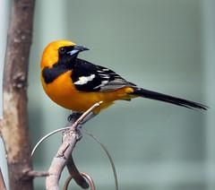 IMG_2598-copy-copy.JPG (lbj.birds) Tags: bird nature wildlife kansas hoodedoriole flinthills oriole