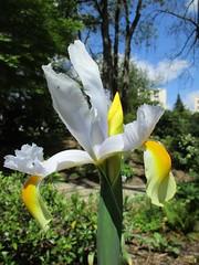 FAKERS  (ricMon chemin ) Tags: iris flower nature fleur yellow canon plante outside spring april avril printemps 2016