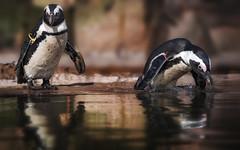Ich tauch mal kurz ab .... (ellen-ow) Tags: pinguin tier nikond5 3000v120f wirbeltiere seevogel kiefermuler ellenow