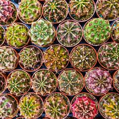 SHADES (zozoros) Tags: macro nature colors cacti natura shades catus colori sfumature