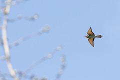 European Bee-eater (ToriAndrewsPhotography) Tags: portugal photography european andrews bee algarve tori eater
