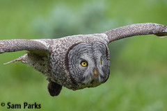 GG24 (Sam Parks Photography) Tags: trees wild summer usa bird nature animal closeup forest rockies rodent fly flying inflight spring wings woods nps wildlife unitedstatesofamerica ghost hunting feathers meadow aves headshot raptor northamerica rockymountains hunter prey wyoming tight greatgrayowl soaring phantom predator carnivorous naturalworld jacksonhole avian soar hunt tetonrange parkservice strigiformes grandtetonnationalpark predatory strixnebulosa predation gye mountainous carnivora strigidae gtnp greateryellowstoneecosystem horizontalorientation carniore