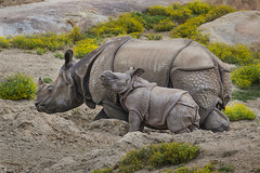 Calf Joins Crash of Greater One-horned Rhinos at Safari Park (San Diego Zoo Global) Tags: travel baby cute tourism nature animals zoo sandiego conservation rhino safaripark sandiegozooglobal2016