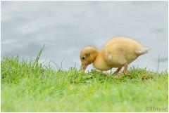 eten (HP009302) (Hetwie) Tags: bird nature duck nederland natuur chicks mallard vogel vijver noordbrabant helmond wildeeend watervogel wijkpark brouwhuis eendjeskuiken