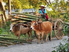 Nyaung Shwe - Oxcart (sharko333) Tags: voyage travel people asia asien burma transport olympus bamboo vehicle myanmar inlelake asie birma reise shanstate oxcart em5 lakeinle nyaungshawe
