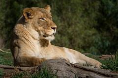 Lounging Lioness (helenehoffman) Tags: africa animal cat mammal lion bigcat carnivore lioncamp pantheraleo felidae specanimal sandiegozoosafaripark