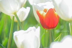 Only One (littlekiss) Tags: red flower nature sunshine spring happiness tulip abbotsford tulipfestival littlekiss
