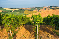 Country landscape in Marches (Italy) (clodio61) Tags: old flowers summer italy plant color tree green nature field rural landscape photography vineyard europe day outdoor farm country hill vine sunny row sunflowers cypress agriculture pesaro ancona marches