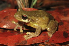 Bleating Tree Frog (Litoria dentata) (Heleioporus) Tags: new tree wales coast south frog dentata litoria bleating
