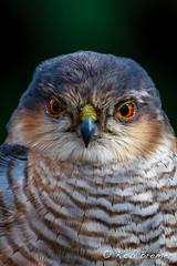 Sperwer / Sparrowhawk -8480 (rob.bremer) Tags: bird nature outdoor wildlife dunes natuur aves sperwer duinen castricum vogel sparrowhawk accipiternisus noordhollandsduinreservaat