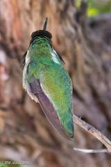 IMG_3179.jpg (ashleyrm) Tags: travel arizona birds museum sonora desert tucson hummingbirds birdwatching avian tucsonarizona hummingbirdaviary