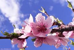 Poemas de la naturaleza (kirru11) Tags: espaa flores cielo nubes quel larioja flordelalmendro kirru11 anaechebarria