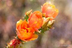 100/32 Cactus Flowers (Opuntia) (xTexAnne) Tags: flowers arizona cactus sahuarita pricklypear flowersplants cactusflower 100x nikond7100 diannewhite