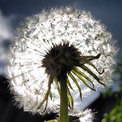 160423-sunlit-dandelion-puffball-radiant-vibrant-seedbomb (zverina.com) Tags: dandelion makeawish catplanet misothecat