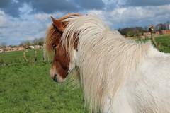 IMG_9962 (fraroan) Tags: paarden ponys tolt rijden paardrijden ijslander ijslandse ijslanders fraroan telgang westbemster